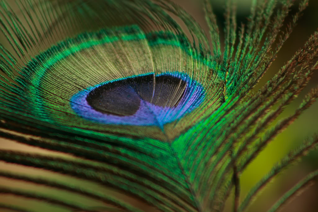 peacock-feather-amollambe