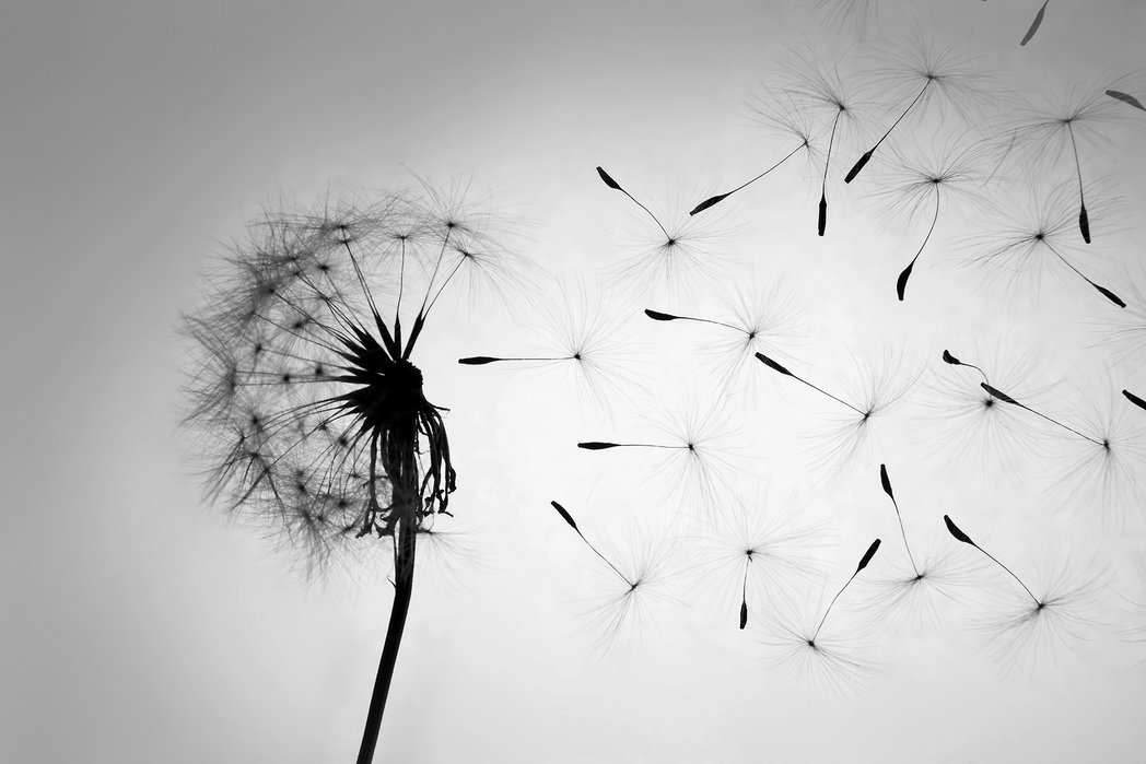 dandelion-black-white-2